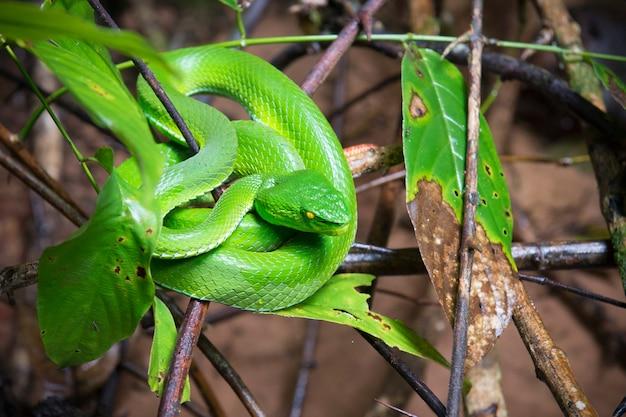 Vipera verde (asian pit viper) nascosta tra le foglie nella foresta.la vipera verde è un nome comune per diversi serpenti velenosi