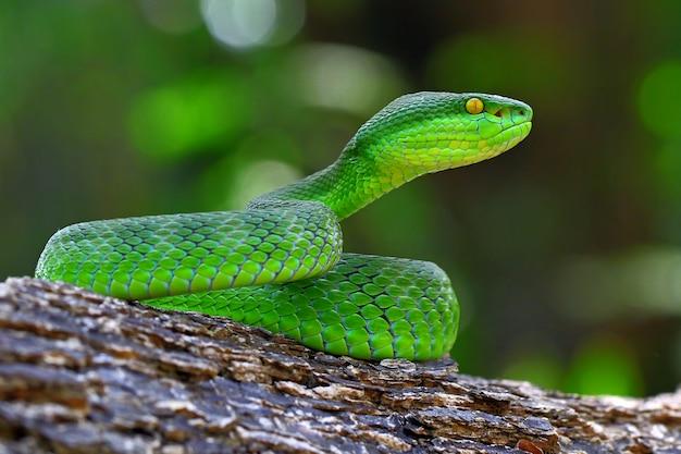 Serpenti di vipera verde