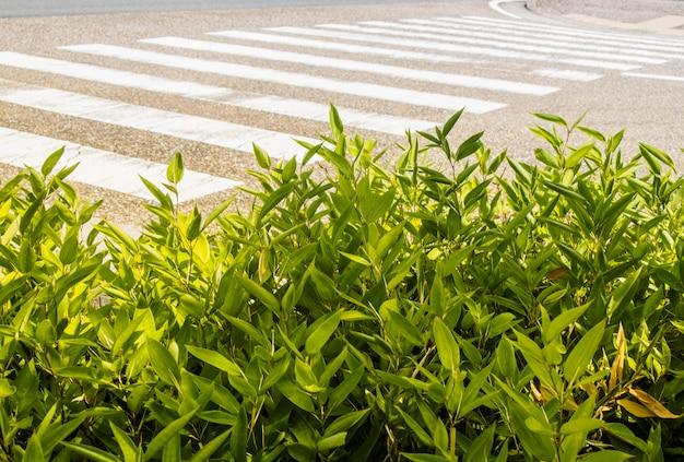 Pianta verde di fronte al passaggio pedonale sulla strada