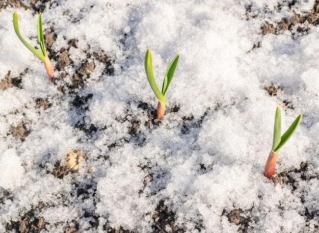 Pianta verde che cresce attraverso la neve. germoglio di aglio di primavera