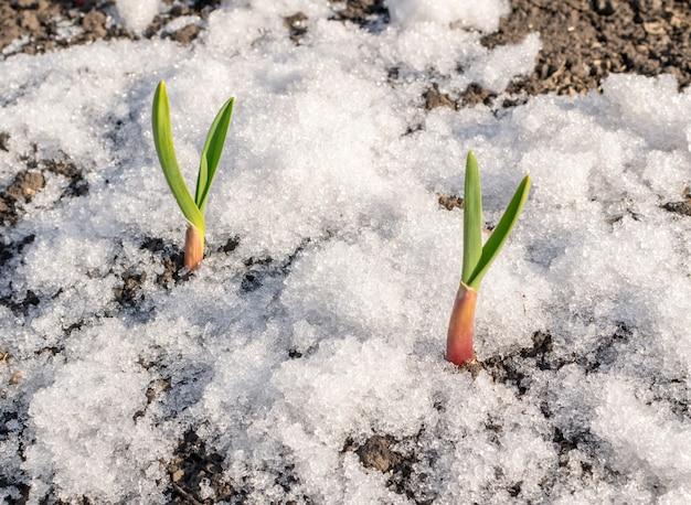 Pianta verde che cresce attraverso la neve