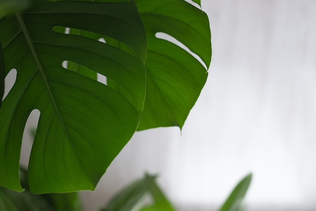 Monstera pianta verde su sfondo bianco.