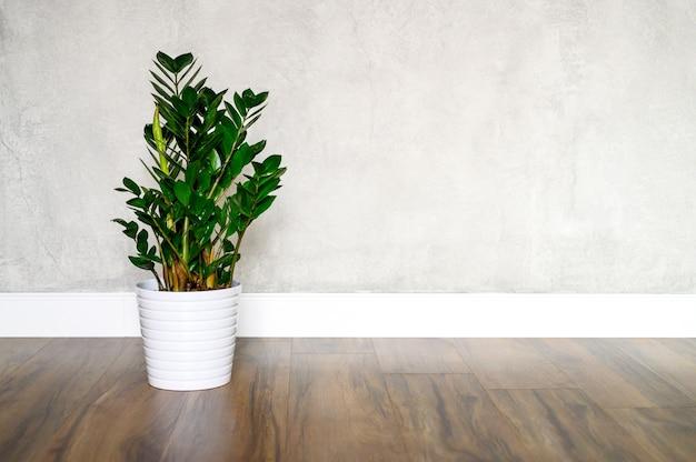 Pianta verde zamioculcas zamiifolia in un vaso di fiori bianco su un pavimento di legno marrone contro un muro di cemento grigio.