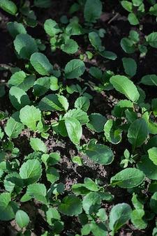 Piante verdi che crescono su un letto in giardino in serra, il concetto di coltivazione biologica di piante vegetali in