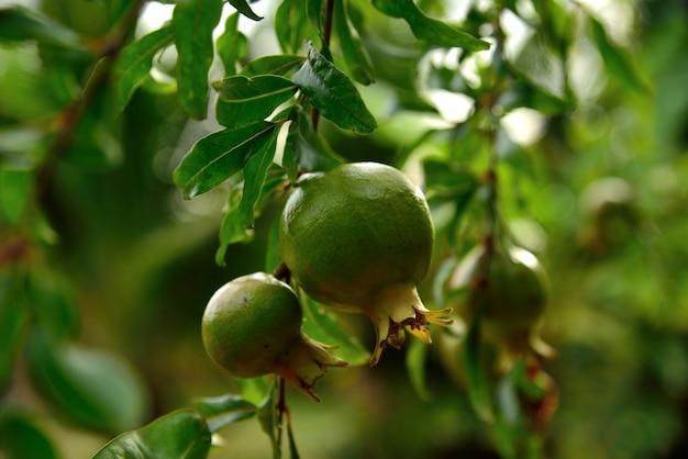 Frutta verde del melograno sulla priorità bassa verde della natura