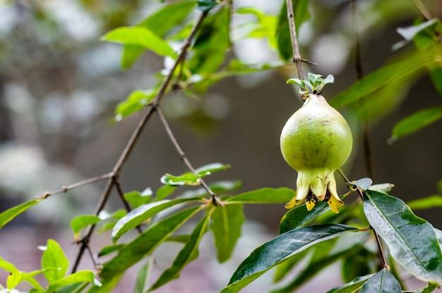 Frutto di melograno verde appeso a un ramo in giardino