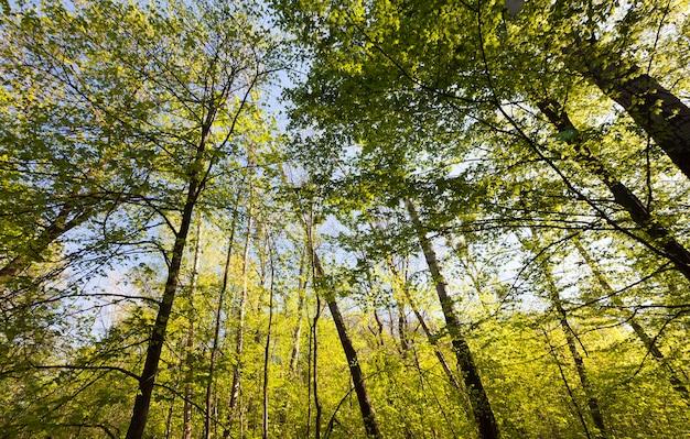 Pioppi verdi nella stagione primaverile nella foresta
