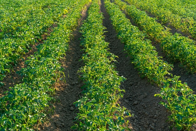 Campo dell'azienda agricola di patate verdi. germogli verdi sotto il sole estivo.