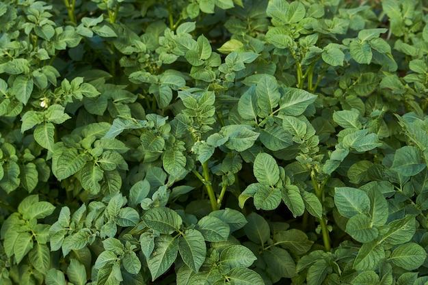 Sfondo di foglie di patata verde. campo di patate in crescita, primo piano. agricoltura, allevamento e giardinaggio