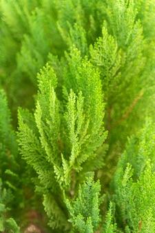 Rami spinosi verdi di un albero di pelliccia o di un pino per lo sfondo. avvicinamento.
