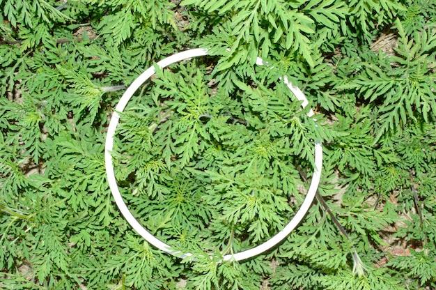Pianta dell'erbaccia verde dell'ambrosia con la struttura rotonda bianca per lo spazio della copia. ambrosia, il più grande allergene di agosto