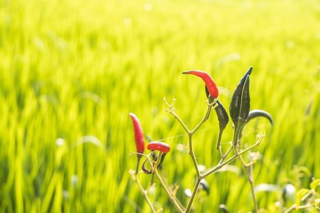 Peperoni verdi e rossi sull'albero riso sfocato di sfondo nel campo