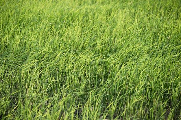 Campo di riso verde che soffia nella piantagione in campagna
