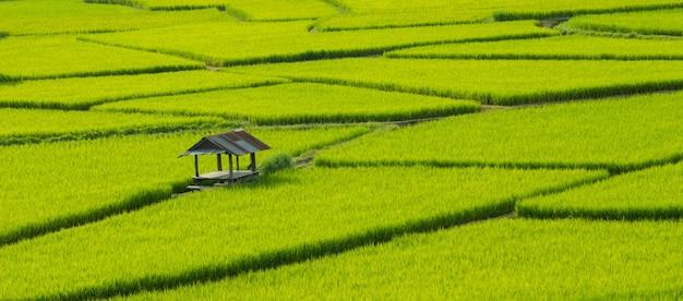 Risaie verdi nella stagione delle piogge bellissimo scenario naturale