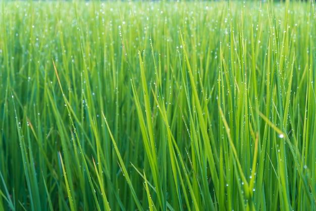 Sfondo di pianta di riso verde con gocce d'acqua