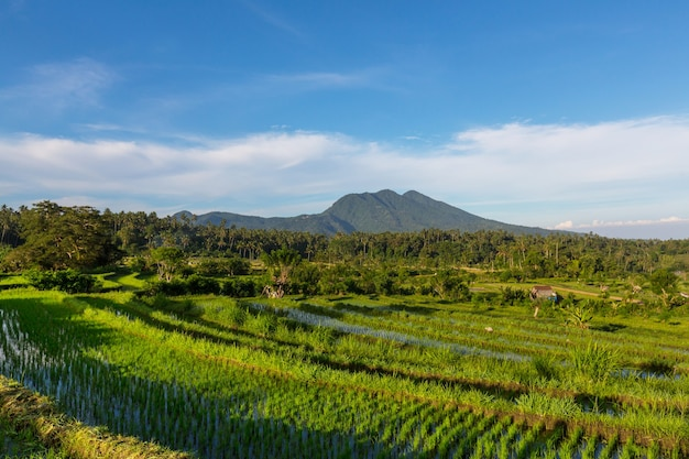 Green rice terrace e ricefield, ubud, bali, indonesia