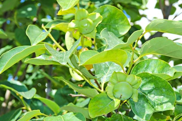 Un cachi di maturazione verde frutti su un albero di cachi
