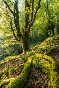 Radici verdi di un albero in una foresta di faggi lungo il sentiero fino al monte adarra a urnieta, vicino a san sebastian. gipuzkoa, paesi baschi