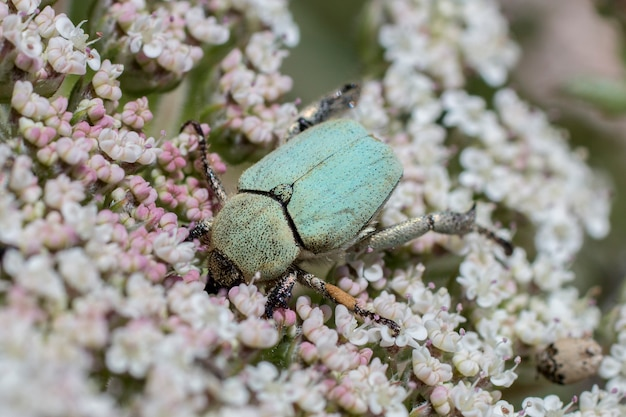Scarabeo di rinforzo rosa verde (cetonia aurata)