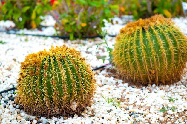 Piante di cactus tropicali rotonde verdi con spine affilate che crescono su un terreno.