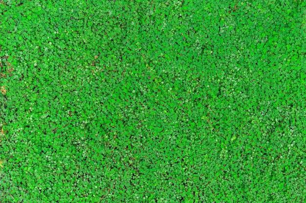 Il convolvolo verde roundleaf (bai tang rian) è una pianta rampicante a terra, utilizzata come sfondo naturale.