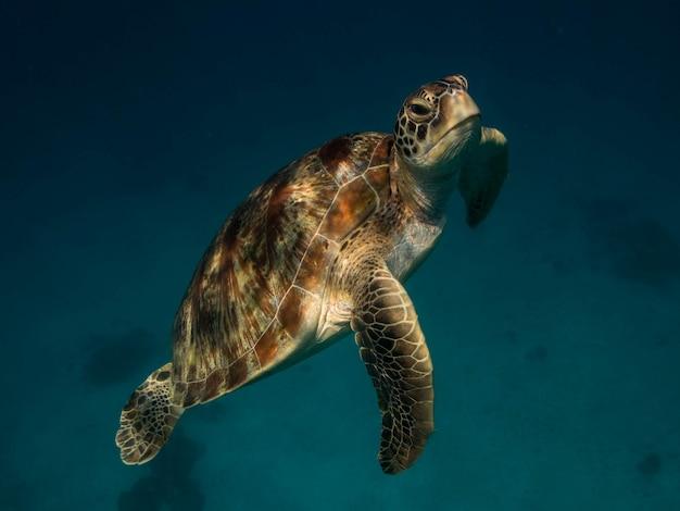 Tartaruga di mare verde nel mare Foto Premium
