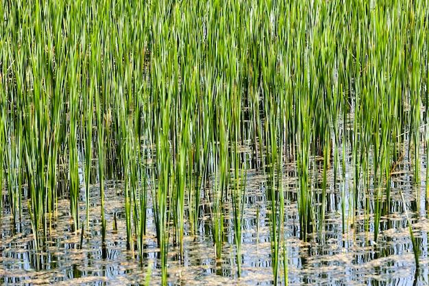 Carice verde, cresce nelle paludi di acqua fangosa. primavera, primo piano. piccola profondità di campo