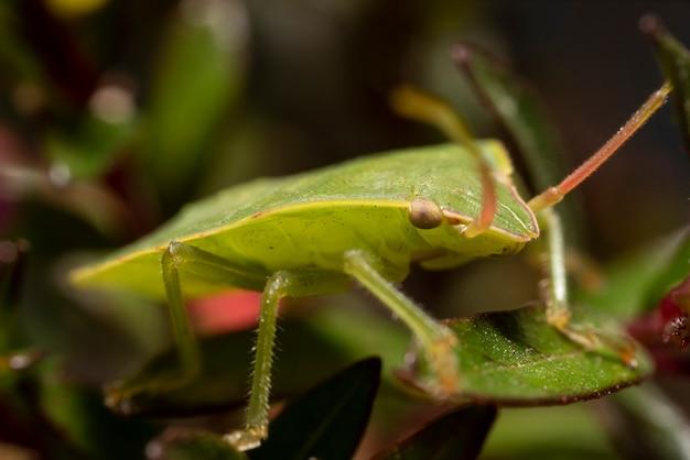 Bug scudo verde, fotografia macro