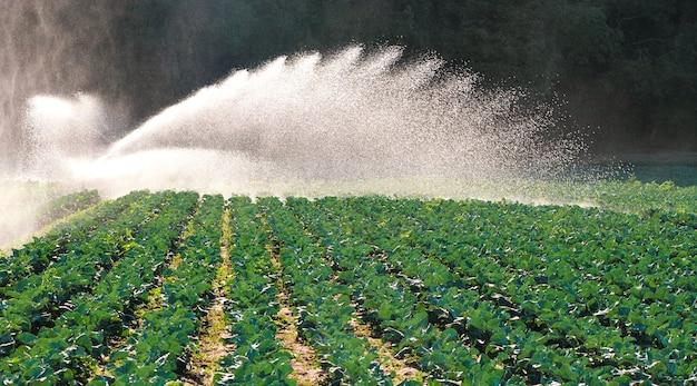 I germogli verdi delle piantine emergono dal terreno. sistema di irrigazione dell'acqua al sole del mattino in una piantagione