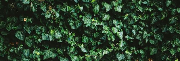 Parete verde dell'arbusto come fondo della natura di struttura della pianta e design botanico