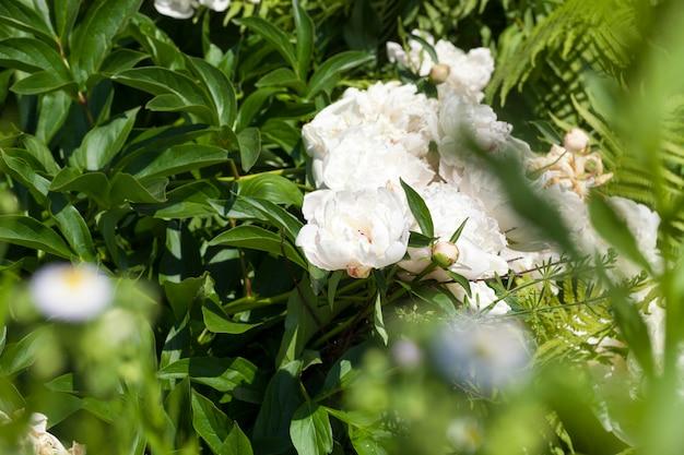 Fiori di arbusti verdi nel giardino, alcuni sono apparsi boccioli rigogliosi e infiorescenze di peonie