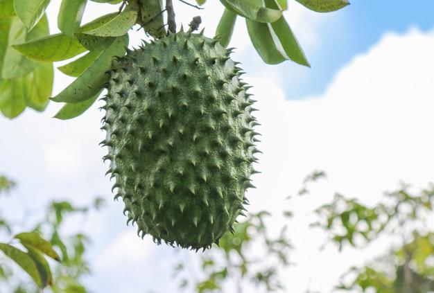 Soursop verde o mela cannella spinosa sull'albero.