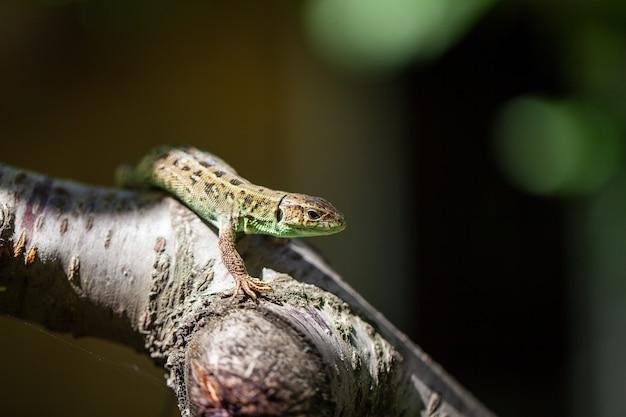 Lucertola macchiata verde su un ramo di albero, su una ragnatela di albero.