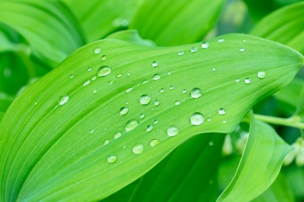 Le foglie verdi della molla con le gocce di acqua si chiudono su, fogliame verde