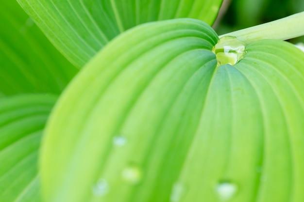 Le foglie verdi della molla con le gocce di acqua si chiudono su