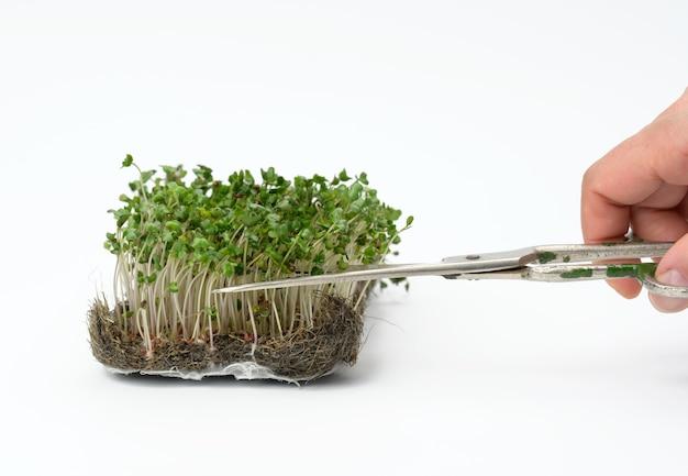Germogli verdi di broccoli su una superficie bianca, mano taglia le foglie con le forbici, utile microgreen, primi piani