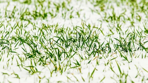 Germogli verdi di grano sotto la neve, grano invernale all'inizio dell'inverno