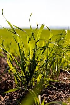 Germogli verdi di grano