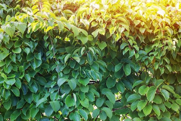 Sfondo verde estivo di rami e foglie