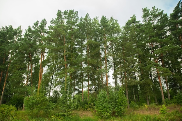Paesaggio verde della foresta di estate durante il giorno con il fiume.