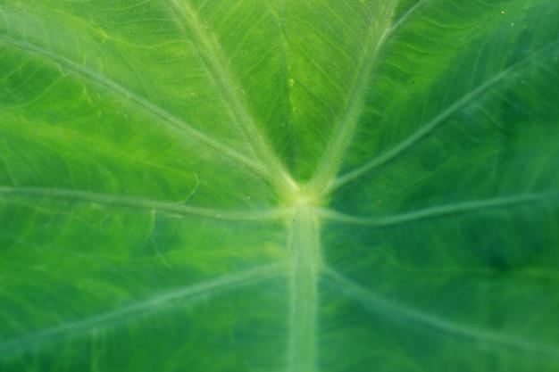 Green taro weed orecchie grandi come orecchie di elefante