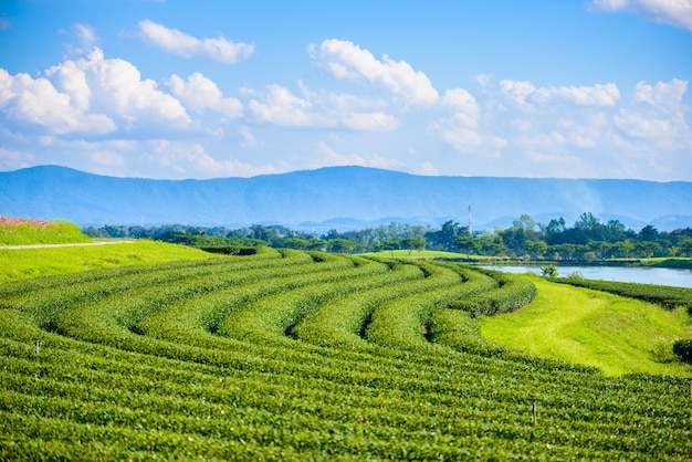 Campo di tè verde con cielo blu
