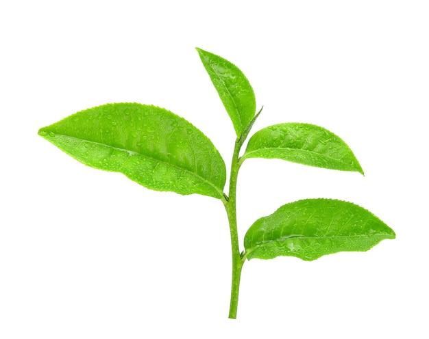 Foglia di tè verde con gocce d'acqua su sfondo bianco.