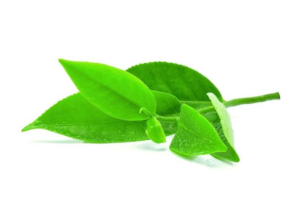 Foglia di tè verde con gocce d'acqua su bianco.