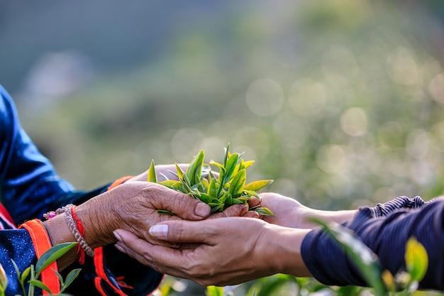 Foglie di tè verde in mano che tengono due agricoltori e terreni agricoli