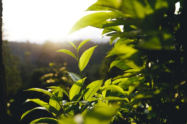 Tè verde albero assam foglie di tè sulla montagna la sera