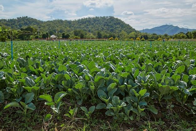 Cavolo verde tailandese nel campo dell'orto agricolo a kanchanaburi, thailandia.