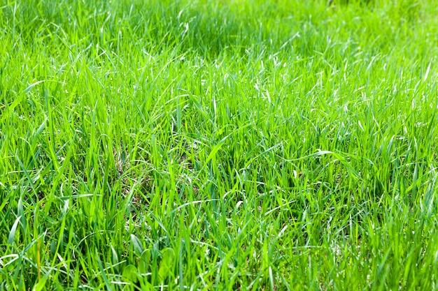 Erba sottile verde che cresce vicino a un lago allagato con acqua in aumento, primo piano