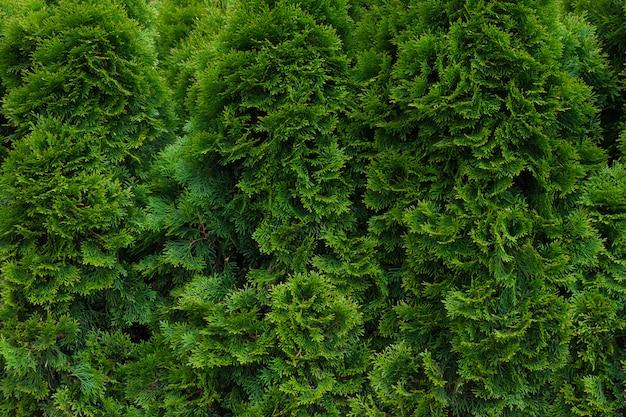 Fine verde della siepe di thuja in su. priorità bassa naturale del reticolo, struttura per il disegno.