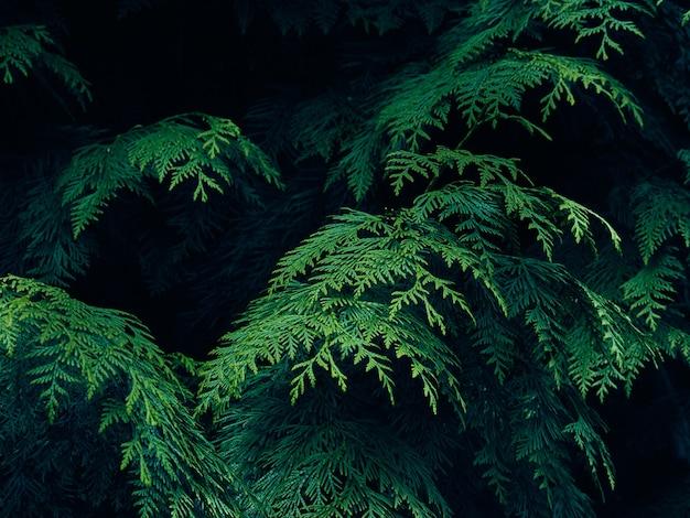 Sfondo di rami di albero verde thuja.
